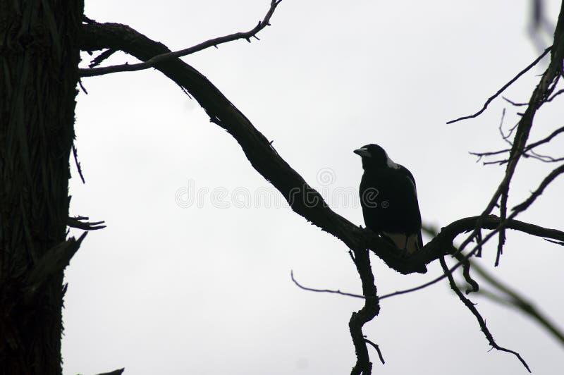 Magpie, Wilpena Pound, Flinders Ranges, SA, Australia. Magpie on dead branch, Wilpena Pound, Flinders Ranges, South Australia, Australia stock photos