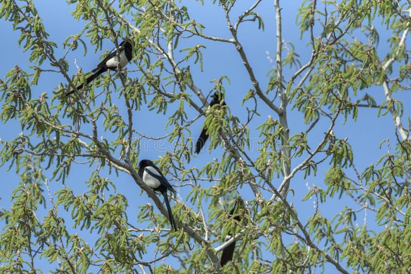 magpies fotografia stock