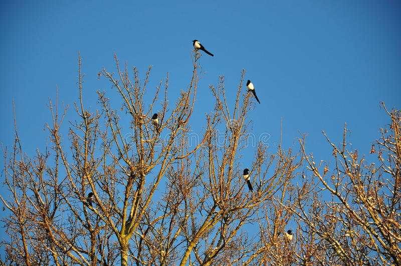 Magpies on a tree royalty free stock image