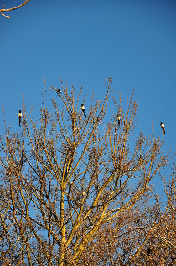 Magpies on a tree royalty free stock photos