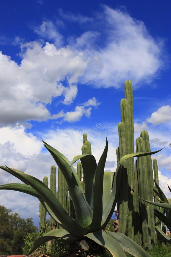 Maguey e cactus fotografia stock libera da diritti