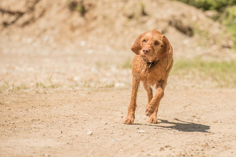 Magyar Visla is is running in the backlight over a meadow. Old Magyar Vizsla dog is running over sandy ground stock photo