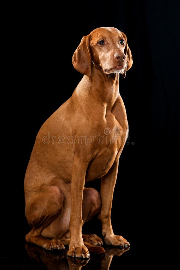 Magyar Viszla dog sitting on black background. And looking to the side stock photography