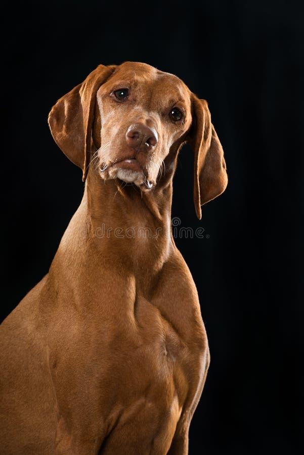 Magyar Viszla dog sitting on black background. And looking to the camera stock photo