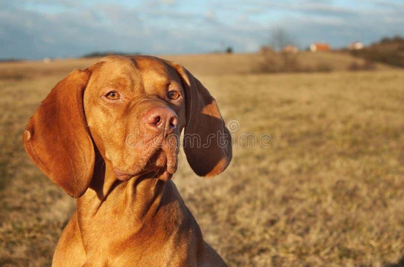 Magyar Viszla head portrait,. Detail, autumn Time, dog eyes stock images
