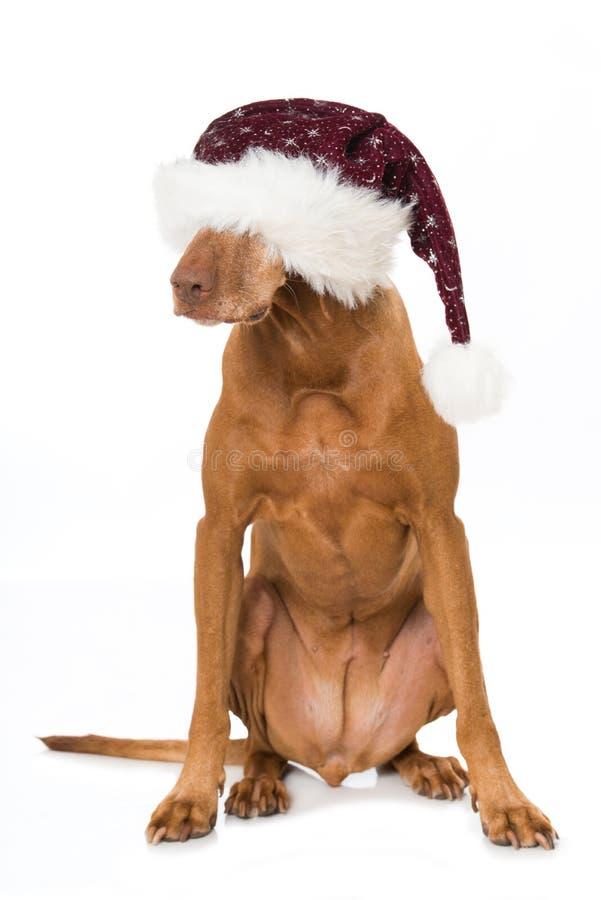 Magyar vizla dog with red santa hat. Sitting on white background royalty free stock photo