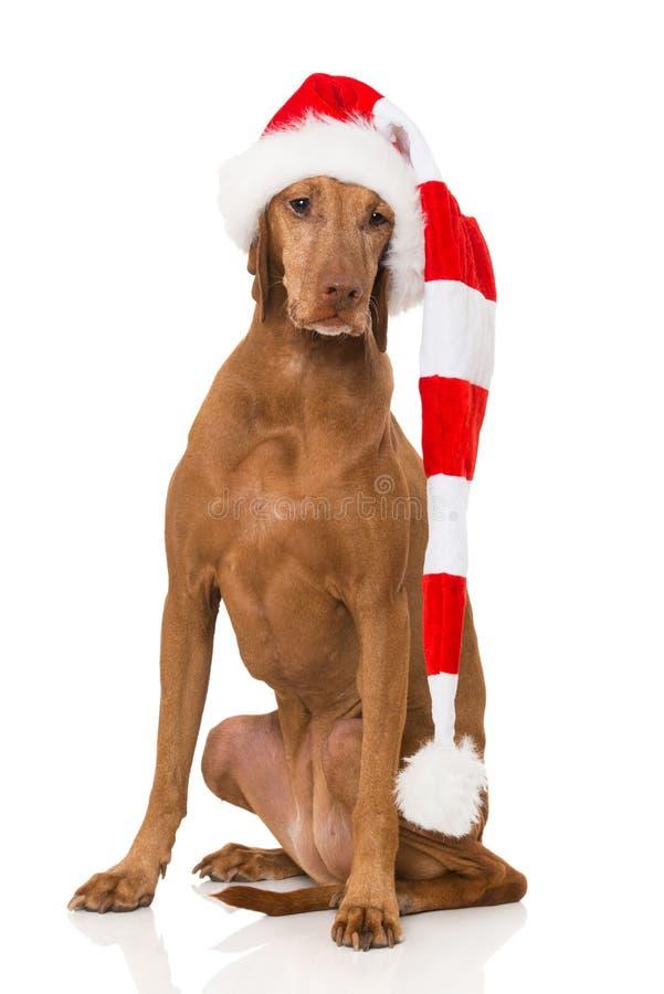 Magyar vizla dog with red santa hat. Sitting on white background stock images