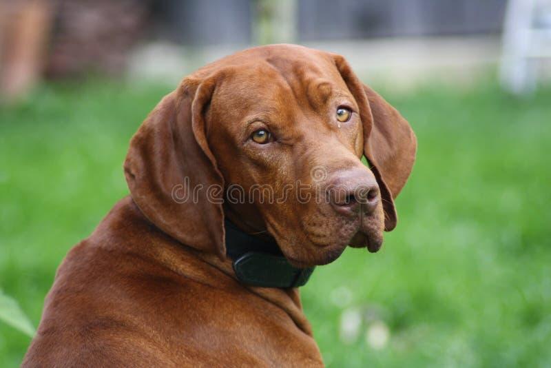 Magyar Vizsla Dog. At work stock photos