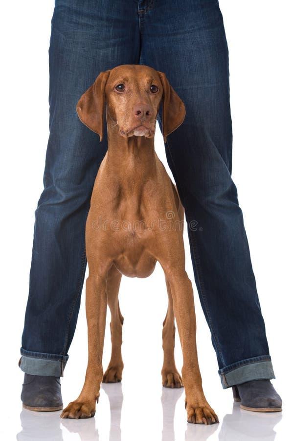 Magyar Vizsla dog. Between legs isolated on white royalty free stock photos