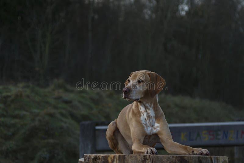 Magyar Vizsla dog. Laid on a tree stump royalty free stock photography