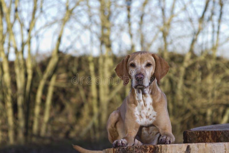 Magyar Vizsla dog. Lying on a tree stump royalty free stock image