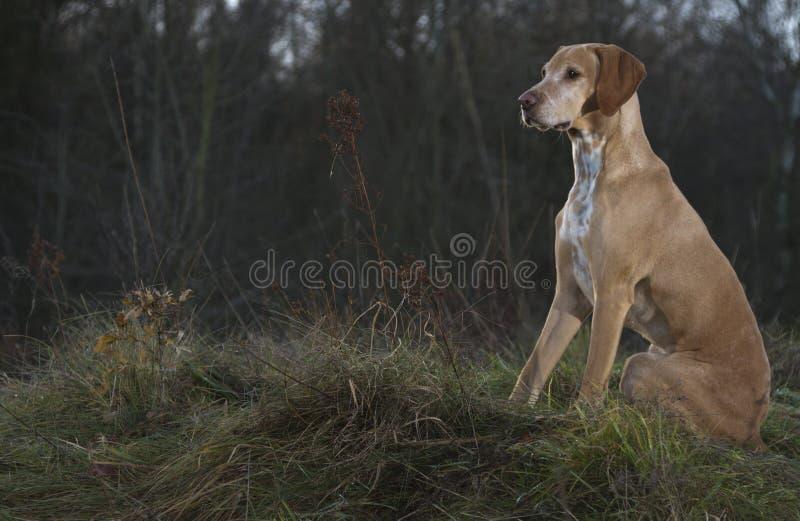 Magyar Vizsla dog. Sitting in front of a forresr royalty free stock image