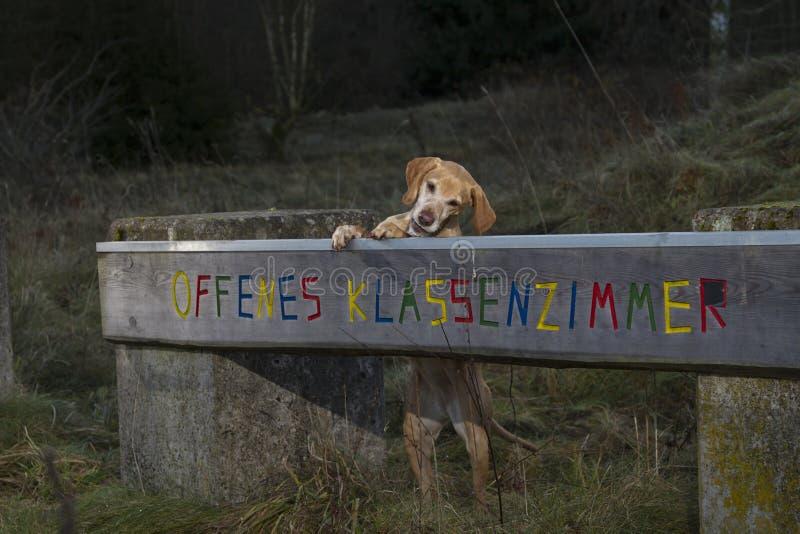 Magyar Vizsla dog. Stand up behind a dog school sign stock photos