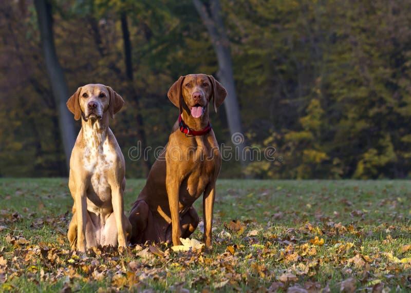 Magyar Vizsla hunting dogs. Two attentive Magyar Vizsla hunting dogs stock image