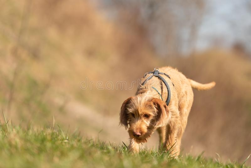Magyar Vizsla 18 weeks old - Dog puppy is sniffing in the grass. And follow a track royalty free stock image