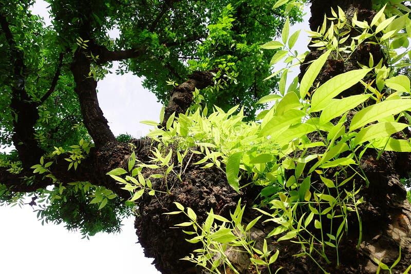 Mahagonibaum  Mahagonibaum-Blattgrün stockfoto. Bild von gesund, baum - 94290424
