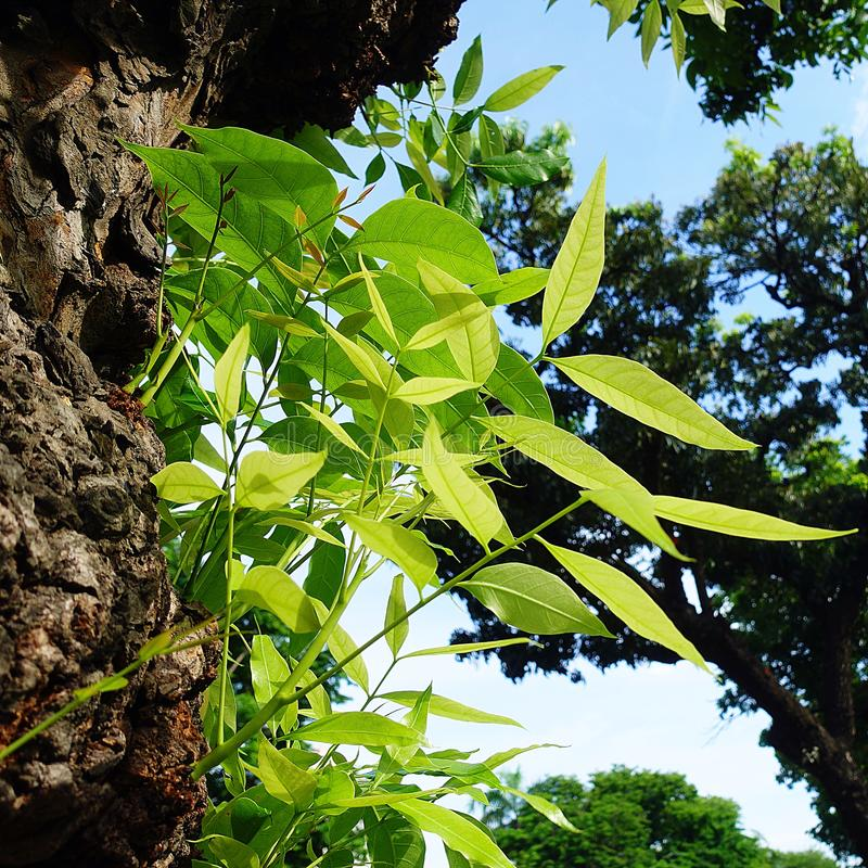 Mahagonibaum  Mahagonibaum-Blattgrün stockbild. Bild von fores, urlaub - 94290523