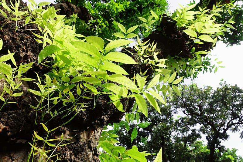Mahagonibaum  Mahagonibaum-Blattgrün stockfoto. Bild von gesund, betrieb - 94290806