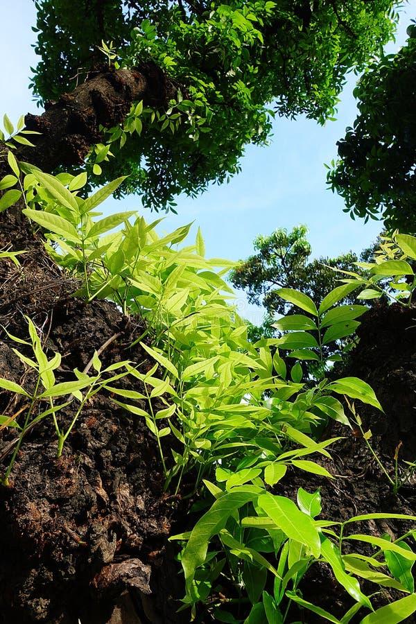Mahagonibaum  Mahagonibaum-Blattgrün stockfoto. Bild von grün, blau - 94291220