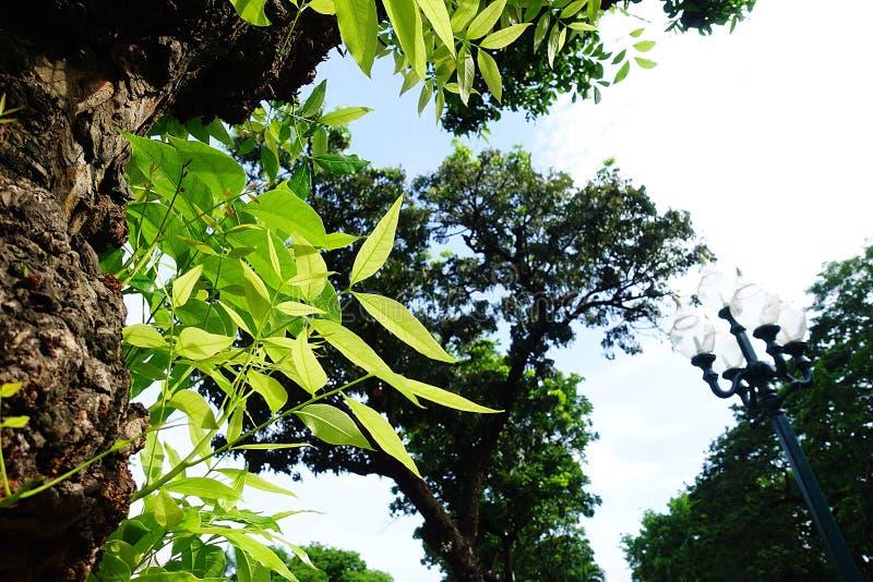 Mahagonibaum  Mahagonibaum-Blattgrün stockfoto. Bild von fores, flieder - 94291608