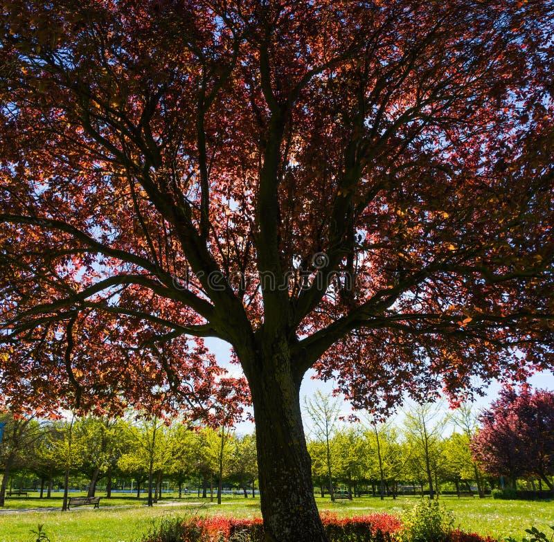 Mahagonibaum  Mahagonibaum-farbiges Rot Oder Plum Prunus Stockfoto - Bild: 61301836