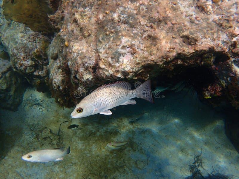 Mahagonirotbarsch, der unter einem Felsen sich versteckt stockfotos