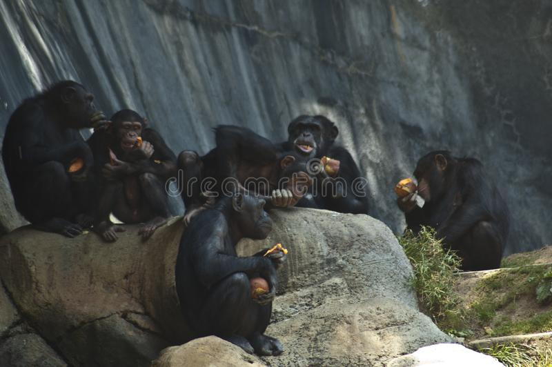 Group of Mahale Mountain Chimpanzees at LA Zoo chimps hang out on a rock and eat royalty free stock image