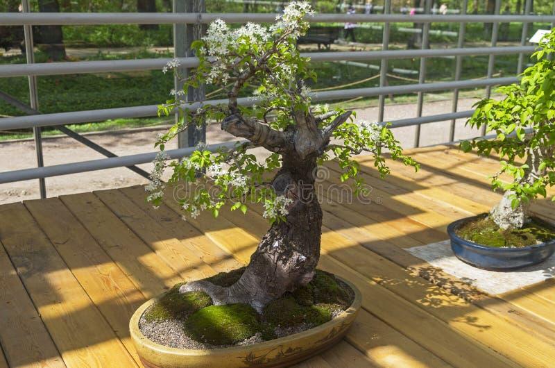 Mahaleb wiśnia - Bonsai w stylu obrazy stock