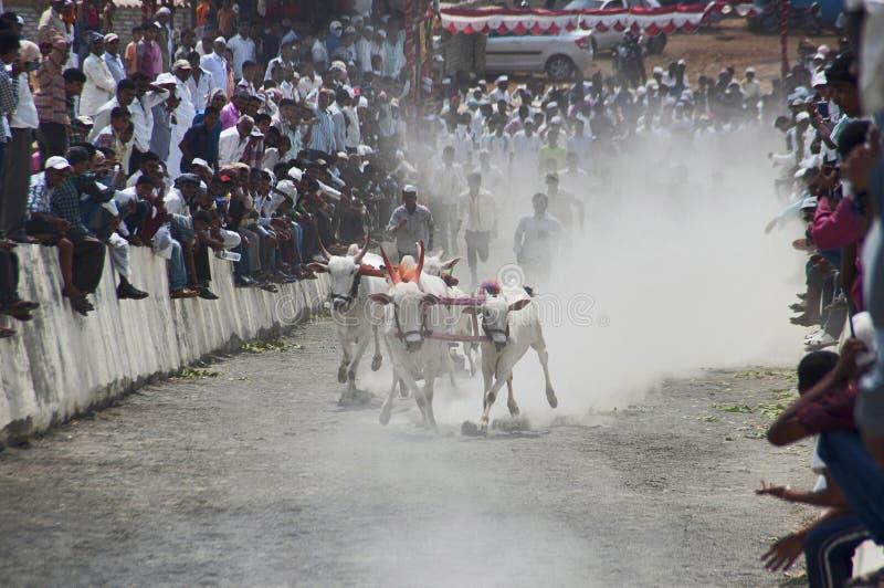 MAHARASHTRAEN INDIEN, April 2014, folket tycker om den traditionella oxevagnen som springer, eller bailgadasharyat arkivbilder