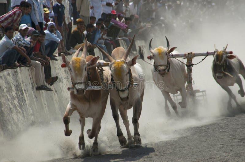 MAHARASHTRAEN INDIEN, April 2014, folket tycker om den traditionella oxevagnen som springer, eller bailgadasharyat fotografering för bildbyråer