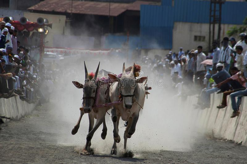MAHARASHTRAEN INDIEN, April 2014, folket tycker om den traditionella oxevagnen som springer, eller bailgadasharyat royaltyfri bild