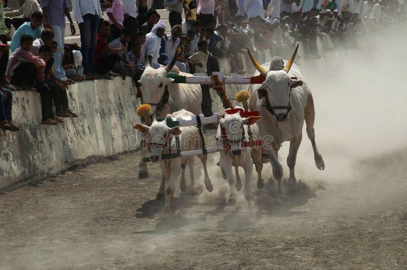 MAHARASHTRAEN INDIEN, April 2014, folket tycker om den traditionella oxevagnen som springer, eller bailgadasharyat royaltyfri fotografi