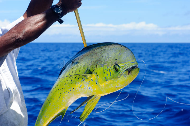 Mahi Dolphin. Caught offshore with line still in mouth stock image