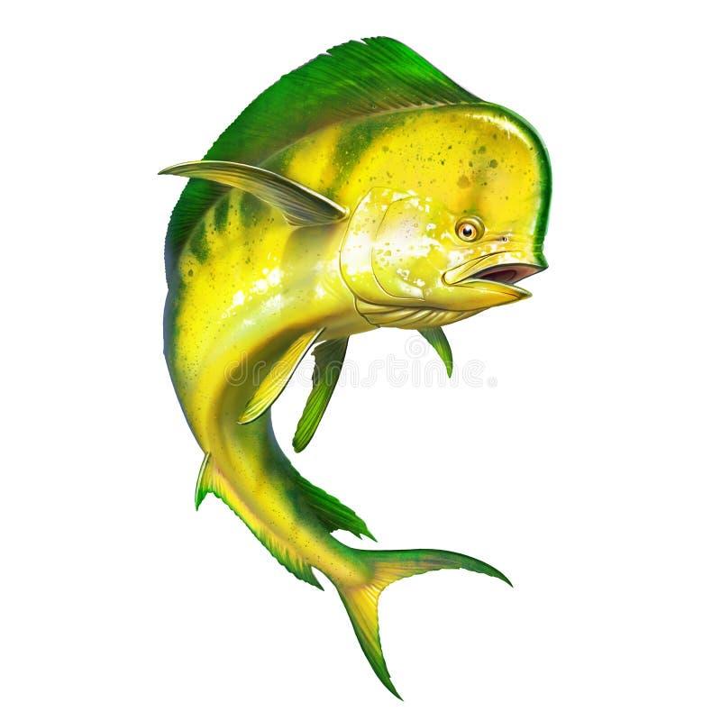 Mahi mahi or dolphin fish on isolate. Mahi mahi yellow fish realistic illustration royalty free stock photo