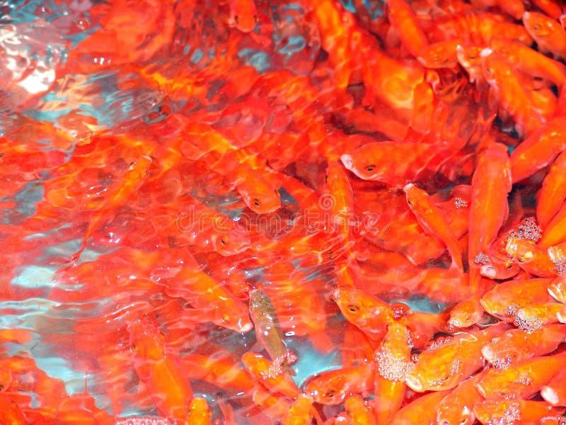 Mahi Ghermez (pescados rojos) foto de archivo libre de regalías