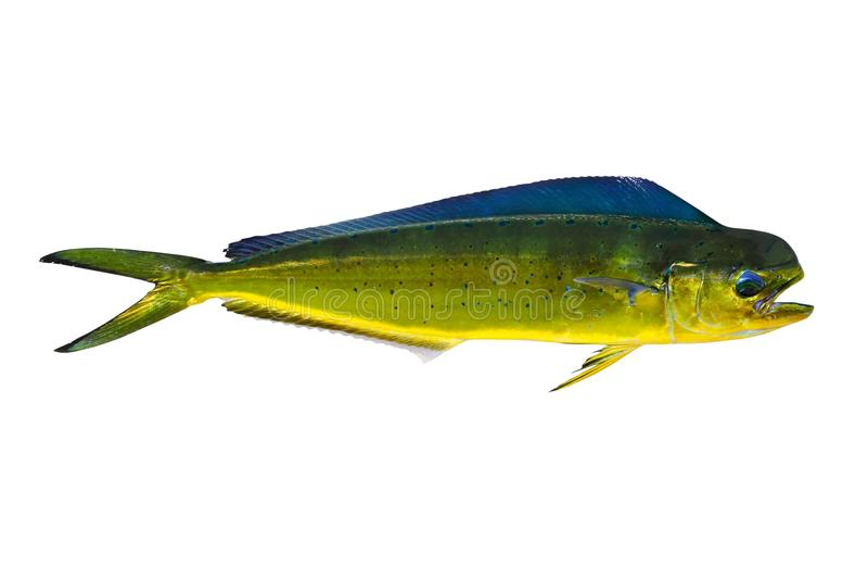Mahi-mahi dos peixes do golfinho de Aka Dorado no branco fotos de stock royalty free
