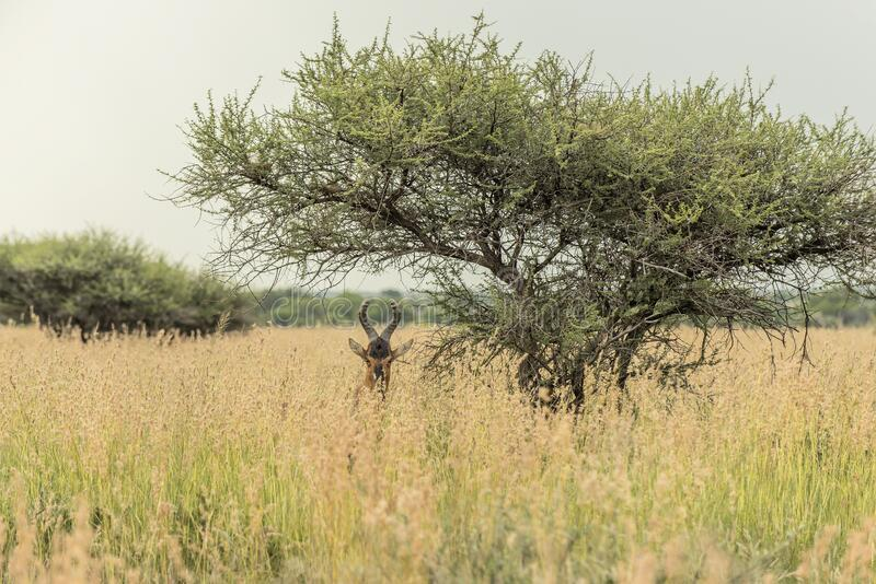 Mahikeng Red Hartebeest under a tree. A Red Hartebeest hiding in the long grass near Mahikeng in South Africa royalty free stock images