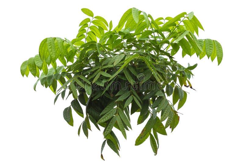 Mahoń lub Swietenia macrophylla drzewo z wody kroplą deszcz fotografia royalty free