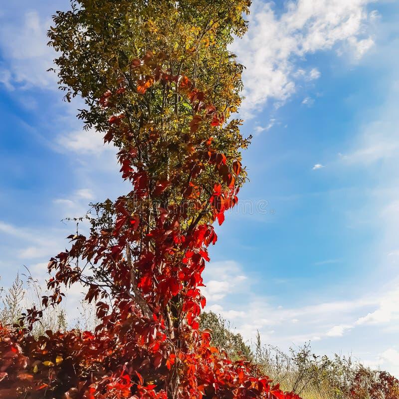 mahogany стоковое фото rf