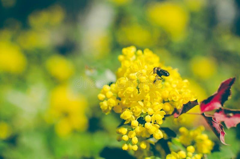 Mahoni aquifolium, Żółty kwiat i pszczoła, zdjęcie stock