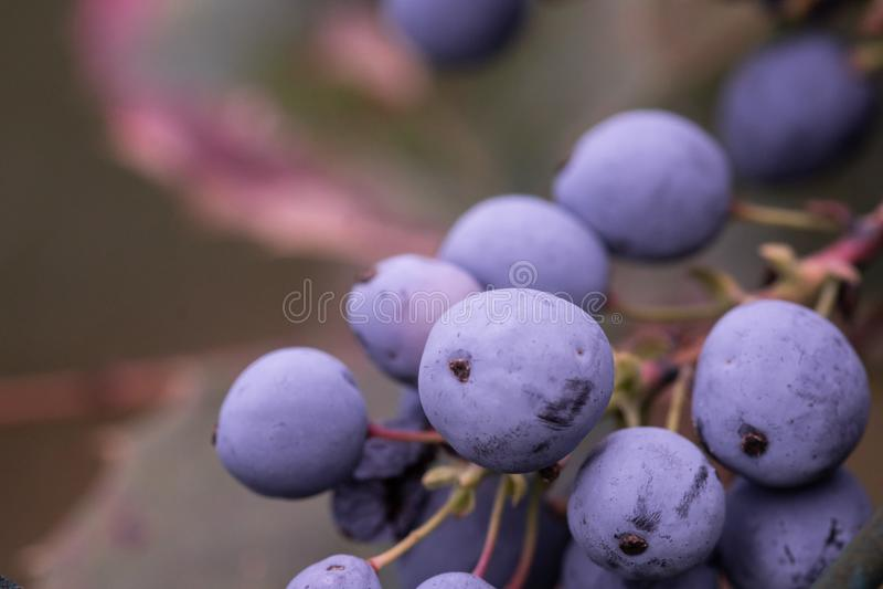 Mahonia, πορφυρή ανάπτυξη δεσμών φρούτων σταφυλιών του Όρεγκον, με τα πράσινα φύλλα στοκ εικόνες