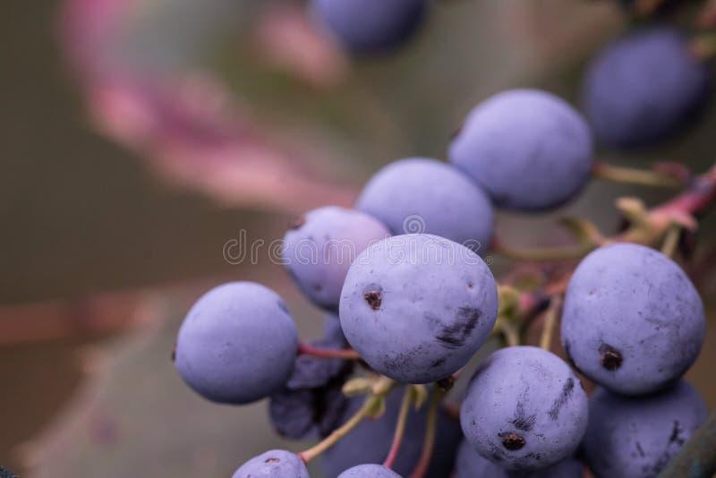 Mahonia, виноградина Орегона приносить фиолетовый пук растя, с зелеными листьями стоковое фото