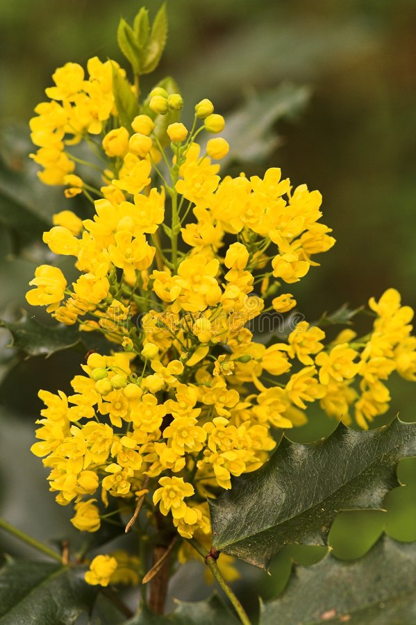 Download Mahonia Stock Photography - Image: 3299142