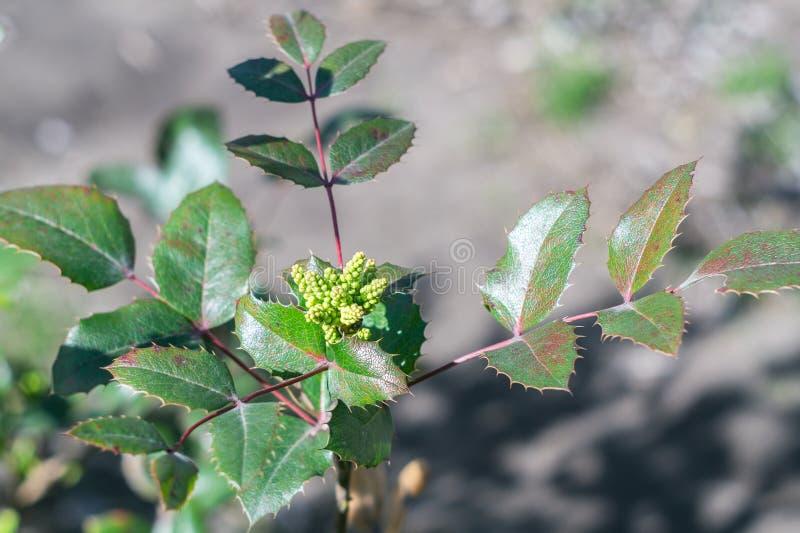 Mahonia aquifolium, immergrüner Strauß für dekorative Landschaften stockfoto