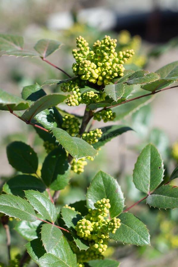 Mahonia aquifolium, immergrüner Strauß für dekorative Landschaften stockbilder