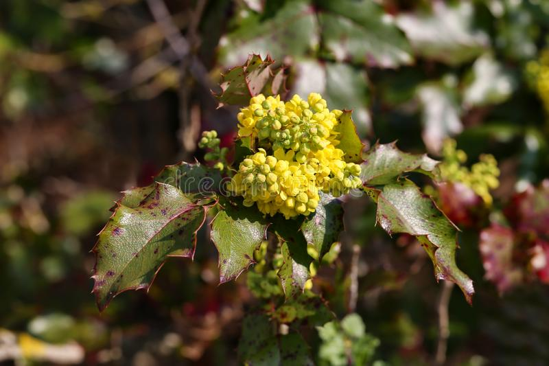 Mahonia. Mahonia aquifolium shrub with yellow flower stock photos