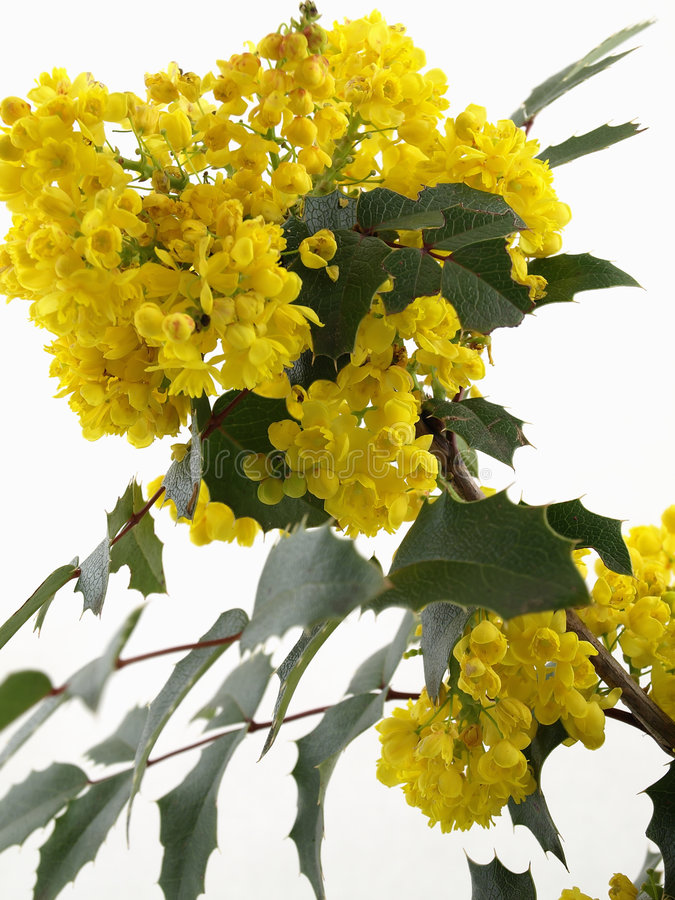Download Mahonia Blossom stock photo. Image of spring, yellow, green - 5767342