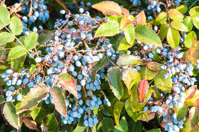 mahonia Blu-grigio della bacca fotografie stock