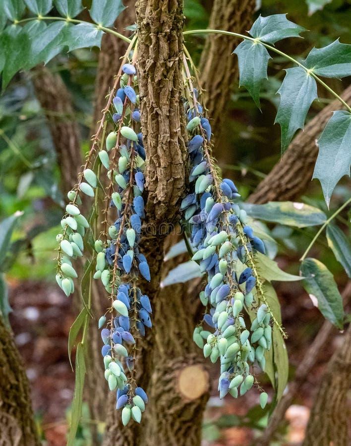 Mahonia, dekorativer immergr?ner Strauch, die eine Gruppe von Beeren im Fr?hjahr produzieren Fotografiert in Surrey, Gro?britanni lizenzfreie stockfotografie