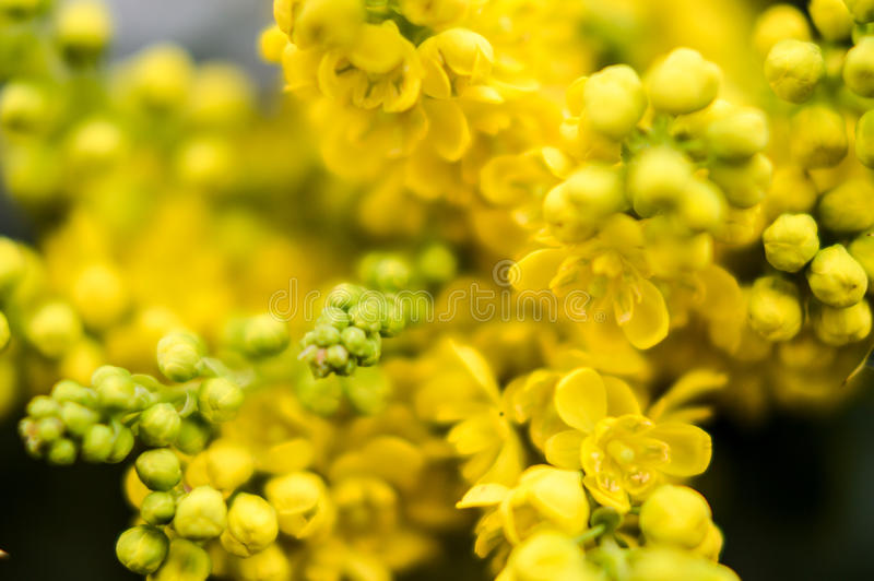 Mahonia flowers background royalty free stock photography